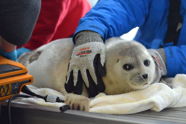 This yearling ringed seal rescued off Unalaska is the first stranded seal of 2017 admitted to the Alaska SeaLife Center for treatment. (Alaska SeaLife Center)