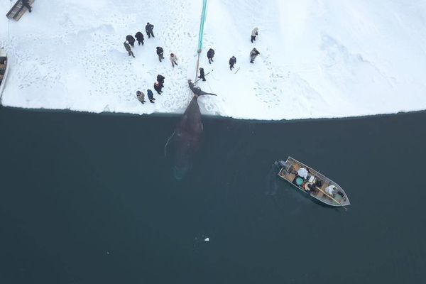 Frederick Brower's Little Whalers Crew hauls their bowhead onto the ice on April 25, 2018, as captured by a drone overhead. (Yves Brower)
