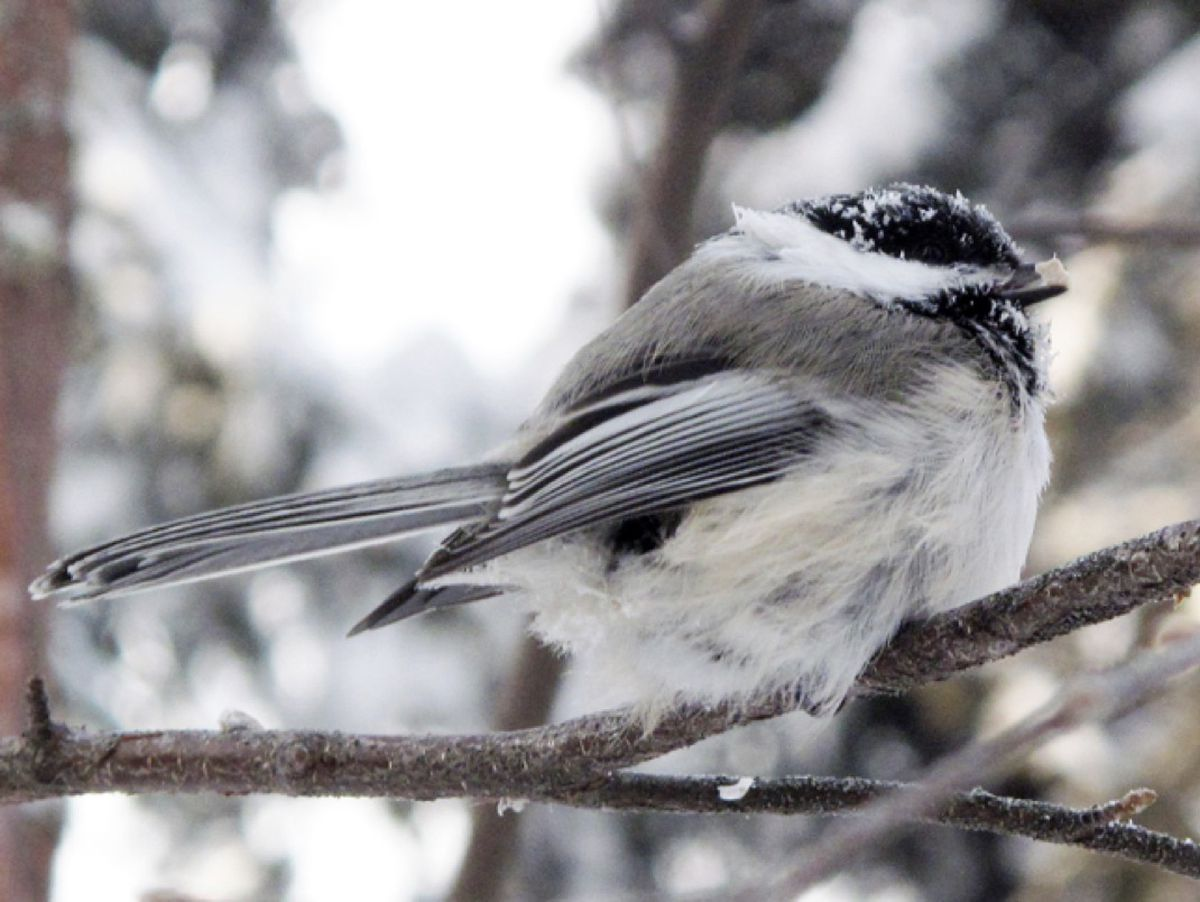 A black-capped chickadee at 40 below zero. (Photo by Ned Rozell)