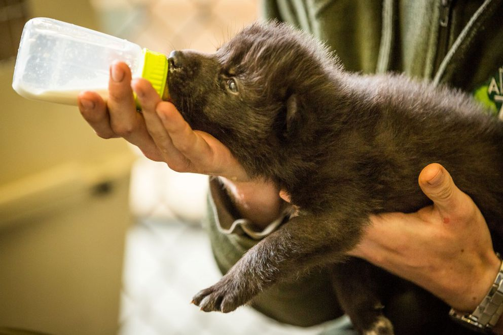 Alaska Zoo keeper Zach Shoemaker feeds one of the wolf pups rescued from the Funny River fire on Thursday, May 29, 2014. (Loren Holmes / ADN)