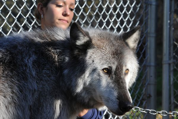 Alaska Zoo education director Stephanie Hartman pets 10-year-old Alaska gray wolf Denali on Wednesday, Oct. 5, 2016. The Alaska Zoo will celebrate its annual Wolf Day on Saturday between noon and 4 p.m. where visitors will have the opportunity to get close and learn about wolves. (Bill Roth / ADN)