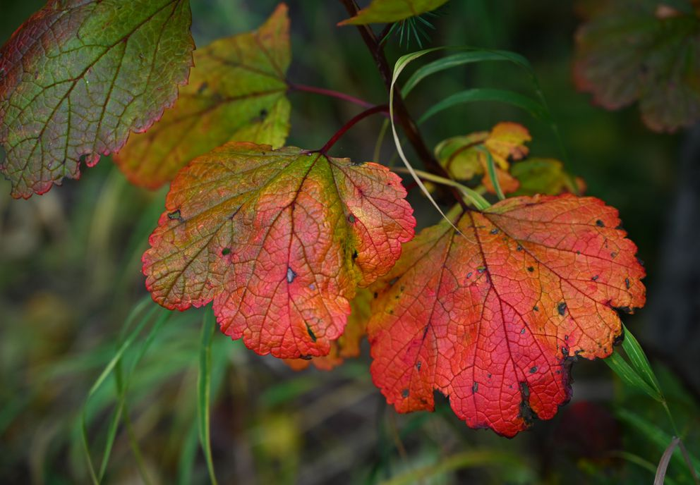 Colorful leaves signal that autumn is in full swing Sept. 15, 2020. (Anne Raup / ADN)