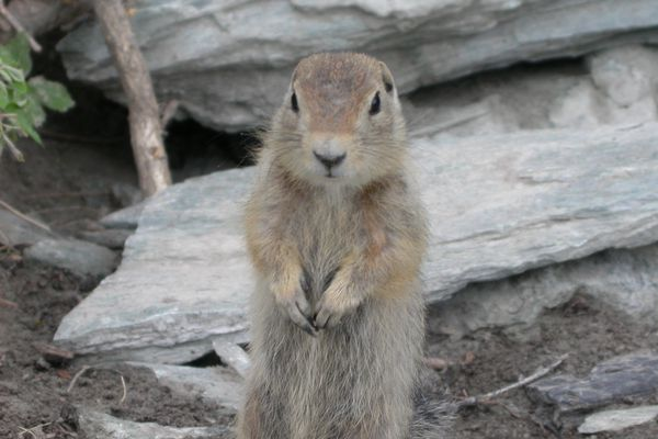 A ground squirrel. (Photo by Ned Rozell)