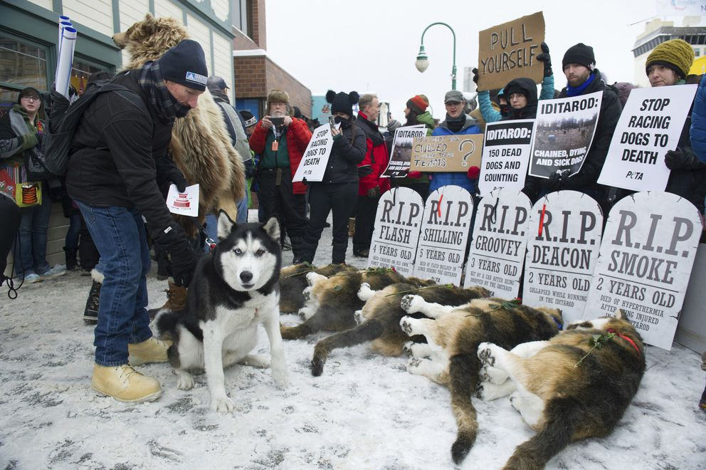 In this March 3, 2018, file photo, Anchorage resident Terry Fischer, with his Alaskan Husky Litho, happens into the People For the Ethical Treatment of Animals protest prior to the ceremonial start of the Iditarod Trail Sled Dog Race in Anchorage. (AP Photo/Michael Dinneen, File)