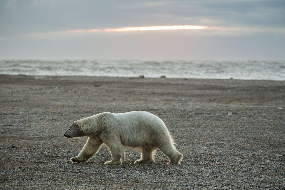 A polar bear walks along the beach in Kaktovik, Alaska. (ADN archive)