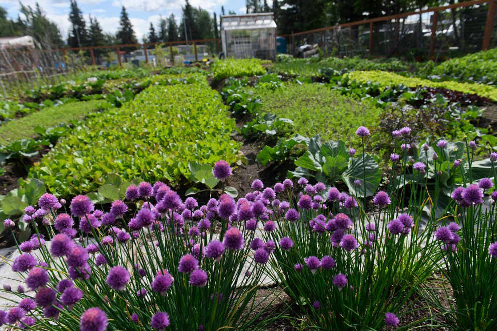 Produce grows in plots at Grow North Farm on Mountain View Drive on June 25, 2020. (Marc Lester / ADN)