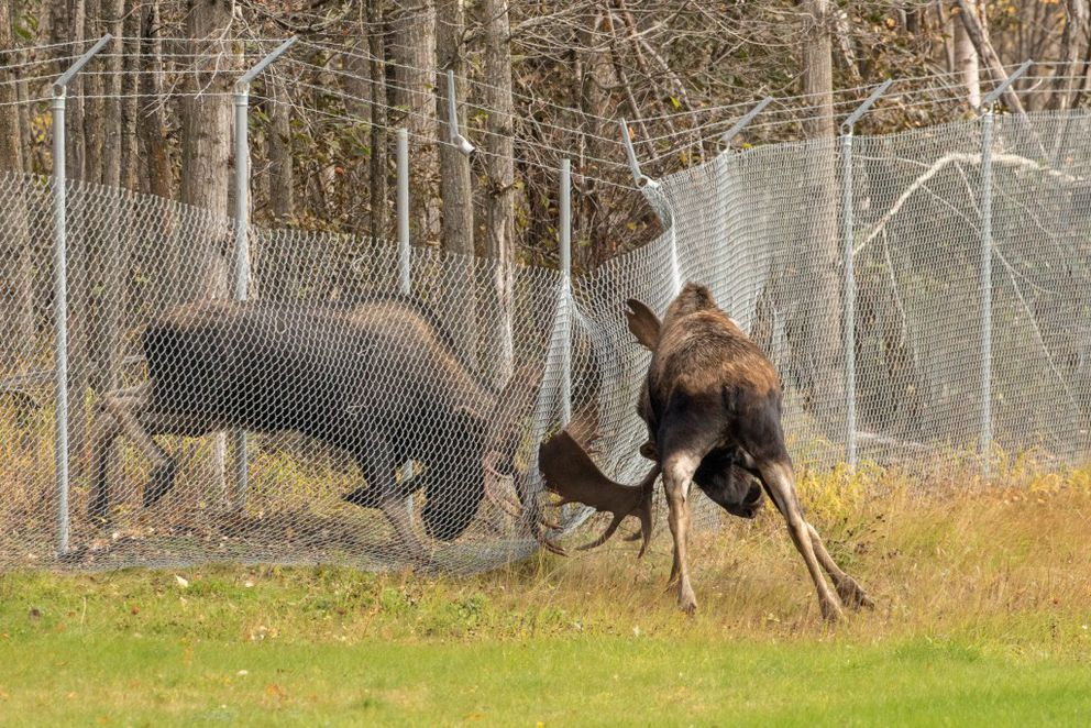 The pair of bull moose battled each other through the fence.  (Photo by Doug Lindstrand)