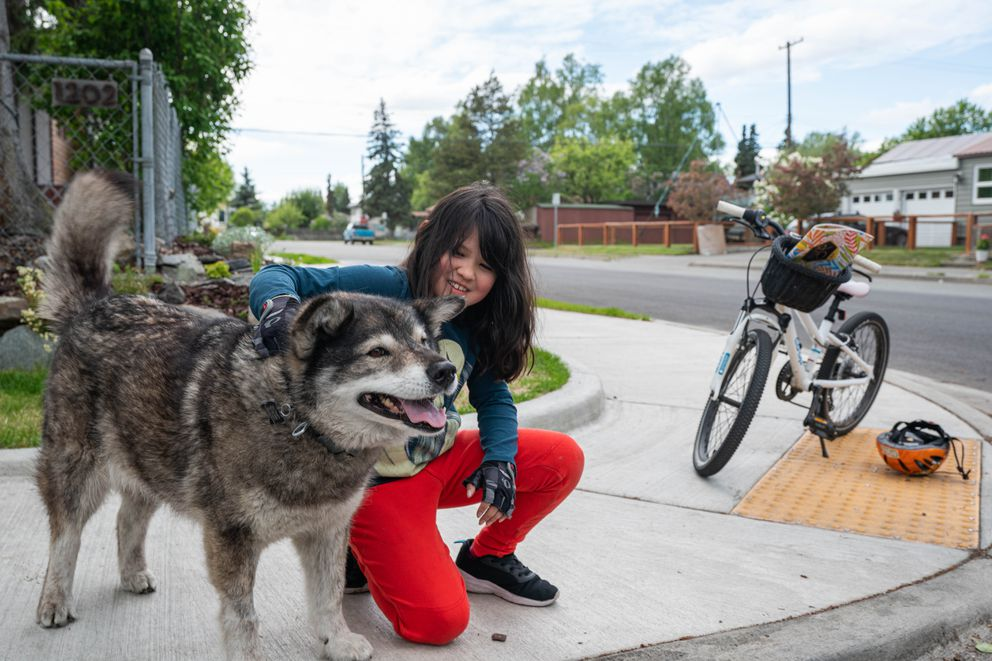 Madeleine McCauley, 9, stops by to pet Newtok during a bike ride with her mother on Wednesday, June 17, 2020 in South Addition. Most days McCauley will stop by a few times to see Newtok, and sometimes will borrow him, taking him to her house to play with her and her friends. (Loren Holmes / ADN)