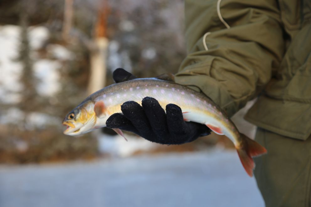An Arctic char caught through the ice on the Kenai National Wildlife Refuge last month. (Photo by Steve Meyer)