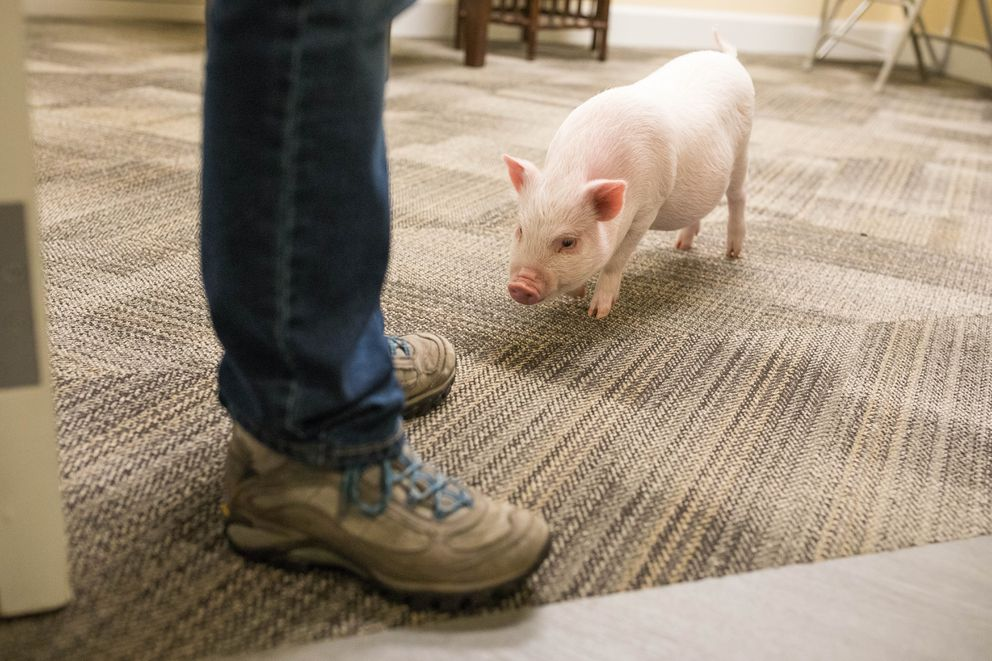 Bacon, a therapy pig at the Turnagain Social Club on Thursday, Oct. 27, 2016. (Loren Holmes / Alaska Dispatch News)
