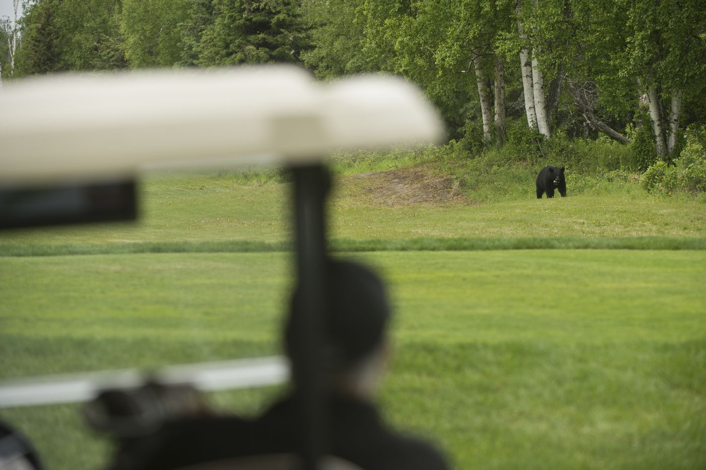 A black bear passes through the Creek Course at Moose Run Golf Course. (Marc Lester / Alaska Dispatch News)