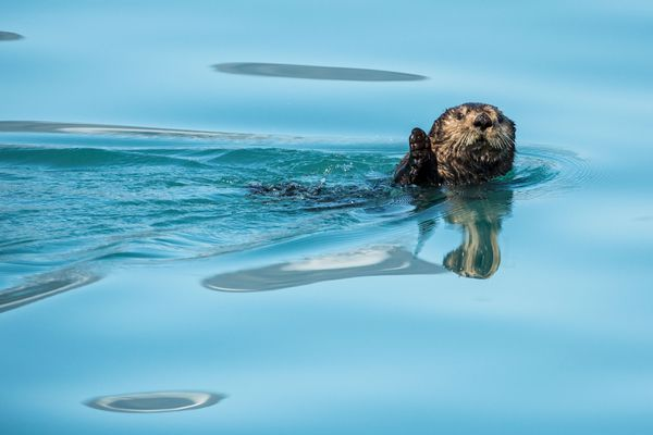 A sea otter watches a passing boat in Aialik bay in Kenai Fjords National Park on Wednesday, August 20, 2014. (Loren Holmes / Alaska Dispatch News)