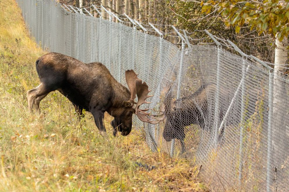 A pair of bull moose battled each other from opposite sides of a chain link fence along Raspberry Road near the entrance to Kincaid Park on Sunday, Oct. 2, 2016.  (Photo by Doug Lindstrand)