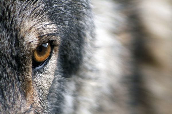 OPINION: For the sake of good science, lucrative tourism and simple stewardship, Alaska leaders need to stand up and protect Denali's wolves on state land along park boundary.