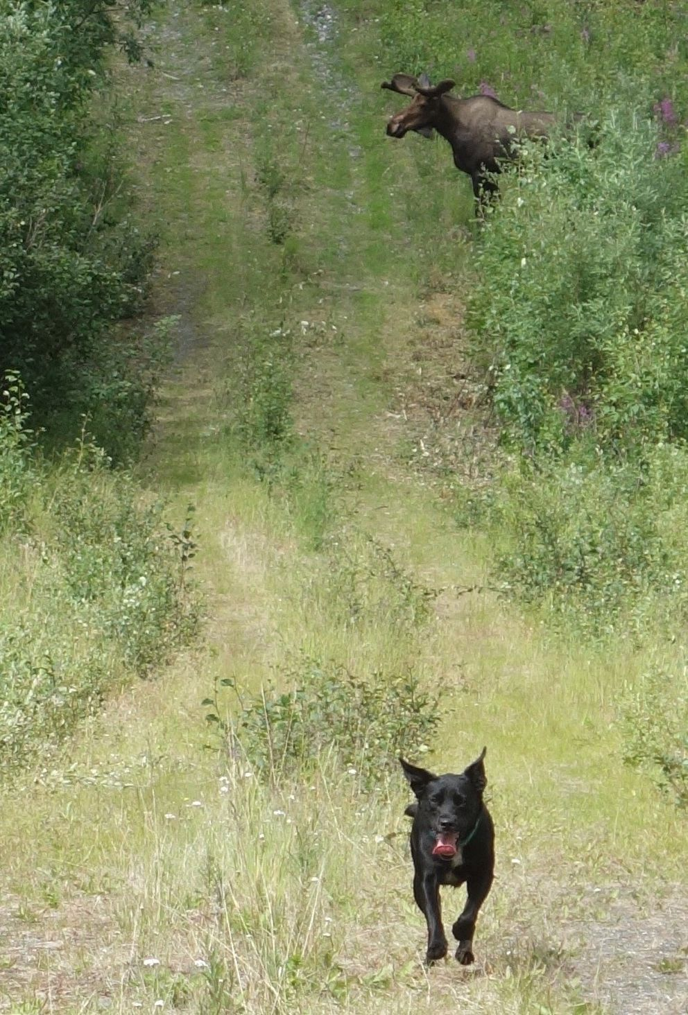 Cora, a Lab-blue heeler mix on the path of the trans-Alaska Pipeline, responds to a command to leave a moose alone. (Ned Rozell)