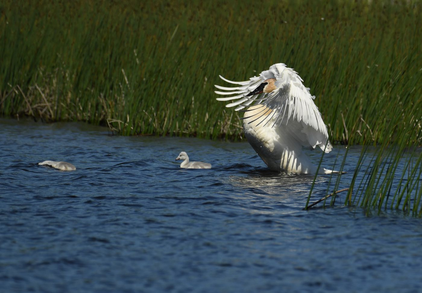A trumpeter swan beats its wings while two of the five recently-hatched cygnets feed at Potter Marsh, June 14, 2020. (Photo by Bob Hallinen)