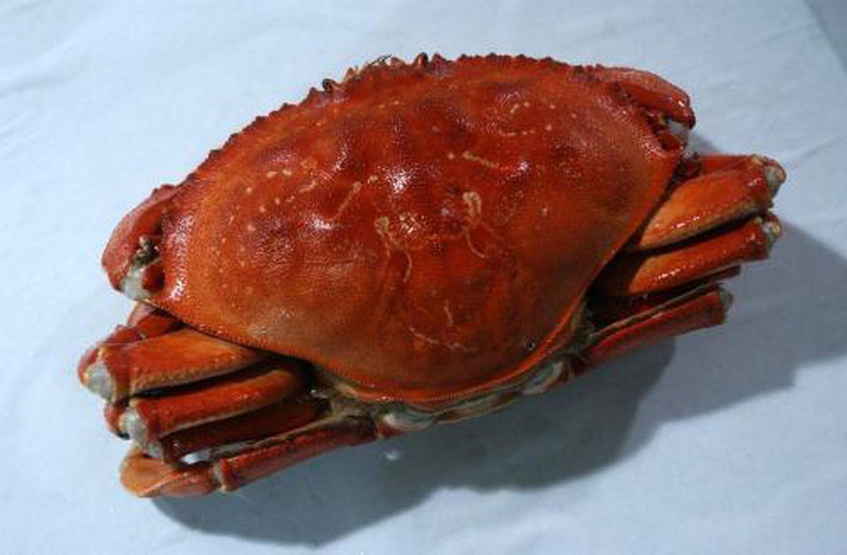 A 2-pound Dungeness crab from Alaska. (Evan R. Steinhauser/Anchorage Daily News archive)