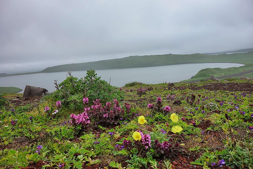 Wildflowers thrive in the treeless, misty landscape of St. Paul Island. (Photo by Scott McMurren)