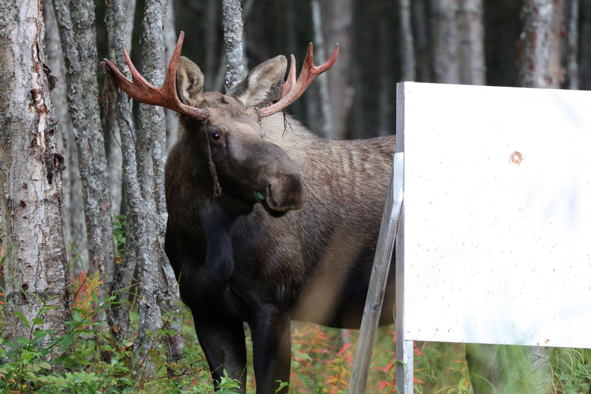 A moose behind a target stand - for most of Alaska this would be an illegal bull moose to shoot. (Photo by Steve Meyer)
