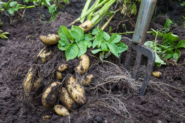 Potato plants, like Brussels sprouts, benefit from a hard frost. But harvest the rest of your garden vegetables as soon as they are ripe. (Getty)