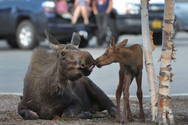 A cow moose tends to her hours-old newborn calf born Tuesday morning, May 31, 2016, in the parking lot near Lowe's at the Tikahtnu Commons in northeast Anchorage. (Bill Roth / Alaska Dispatch News)