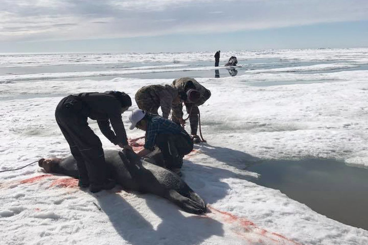 A party of hunters from Kivalina in Northwest Alaska had to travel more than 50 miles by boat in early June to find sea ice and marine mammals to hunt. They eventually ran out of gas, requiring an emergency delivery of fuel by other village residents. The hunts traditionally took place near the village, but sea ice in June had melted dramatically, leaving none in front of the village. Here hunters harvest a bearded seal taken near Point Hope. (Photo by Eleanor K. Swan)