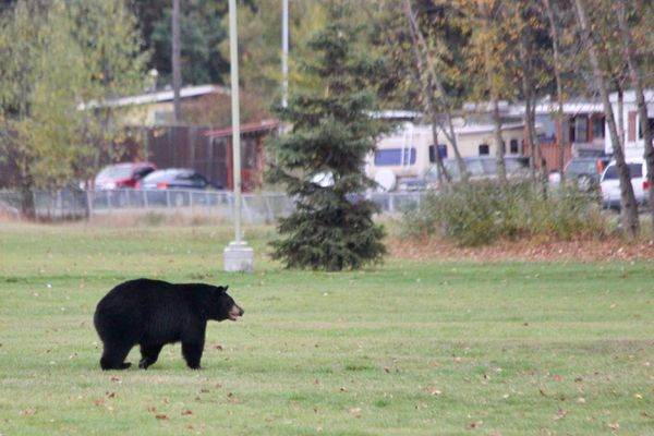 A black bear wandered through a Russian Jack neighborhood on Saturday just before noon. He walked through Dave Rose Park, then hopped a fence at McCarrey before crossing and heading down by the Glenn Highway. The cars scared him from crossing and he was last seen on the south side of the Glenn. (Photo by Mike Lewis / ADN)