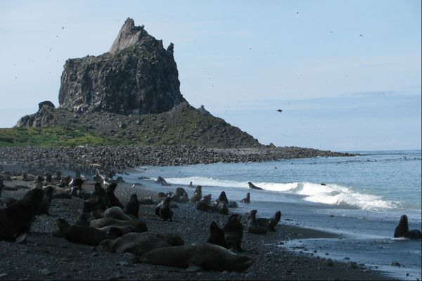 The northern fur seal population of Bogoslof Island, a mostly submerged stratovolcano in the Aleutian chain, is just a few decades old.