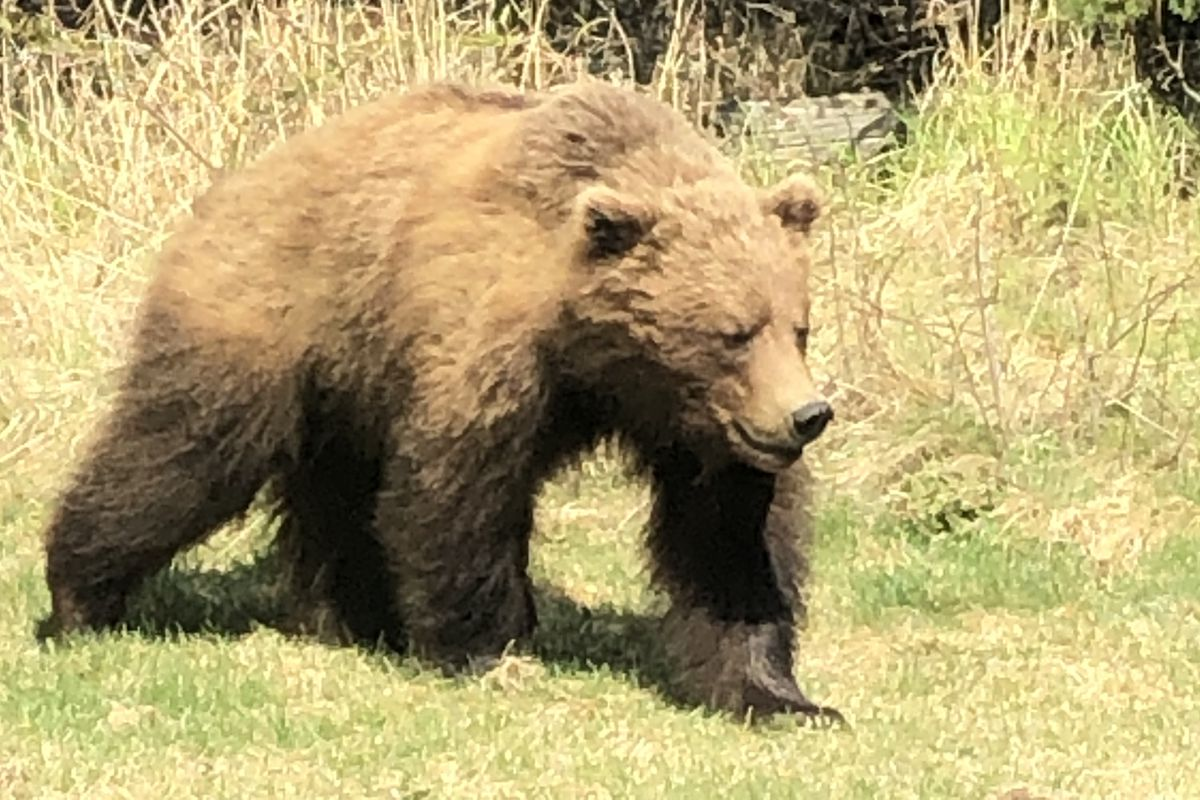 A brown bear was making its way through an Anchorage Hillside neighborhood near Elmore Road and Leyden Road, May 6, 2019. (Photo by April Cooley)