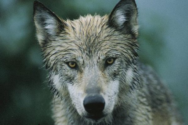 \A wolf stares out of the brush alongside the Denali National Park road, July 1998. (Bob Hallinen / ADN archive)