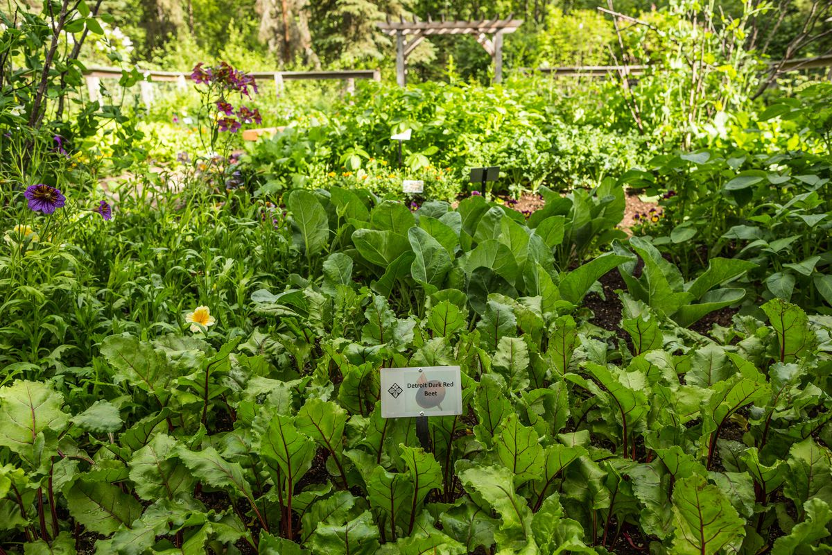 Detroit Dark Red Beets at the Heritage Garden at the Alaska Botanical Garden on Thursday, June 25, 2015. The Heritage Garden, part of the Anchorage Centennial celebrations, features heirloom plants that were planted in early Alaska gardens.