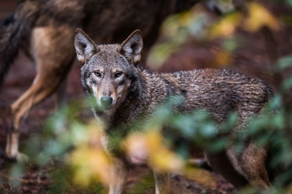 Red wolves are seen at the North Carolina Museum of Life and Science in Durham, N.C. (Washington Post photo by Salwan Georges)