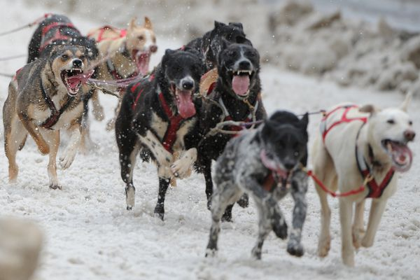 Bill Roth / Alaska Dispatch News Final day of the Fur Rondy sled dog race in downtown Anchorage on Sunday, Feb. 28, 2016.