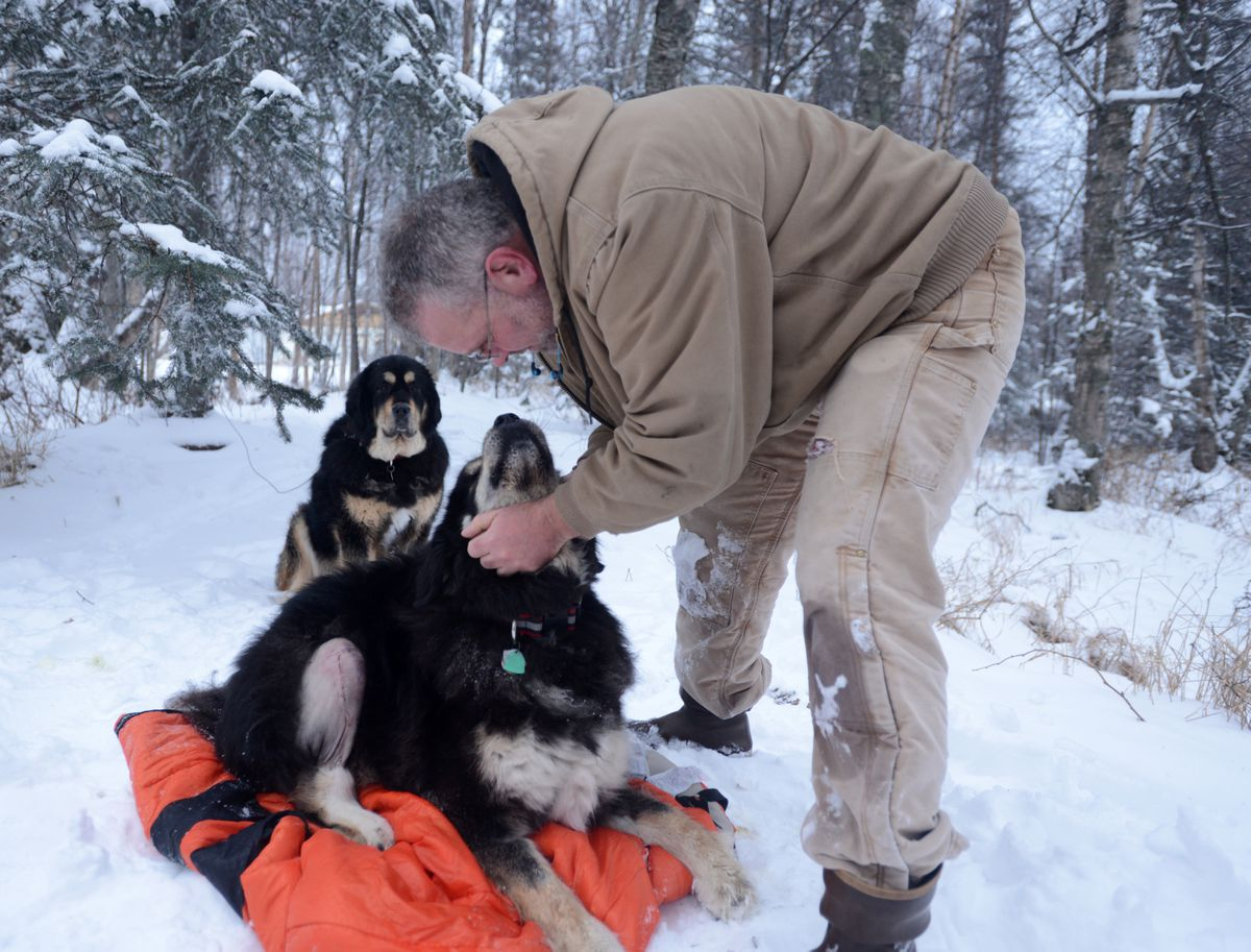 Chris Frost poses with his two Tibetan mastiffs in the fenced enclosure next to his Lazy Mountain area home outside Palmer on Friday. Frost says Williwaw, on the blanket, contacted mange from a feral rabbit that entered the enclosure, and tore the menisci and the anterior cruciate ligament in one of his hind legs in the encounter with the rabbit. In the background is Chena. (Bob Hallinen / Alaska Dispatch News)