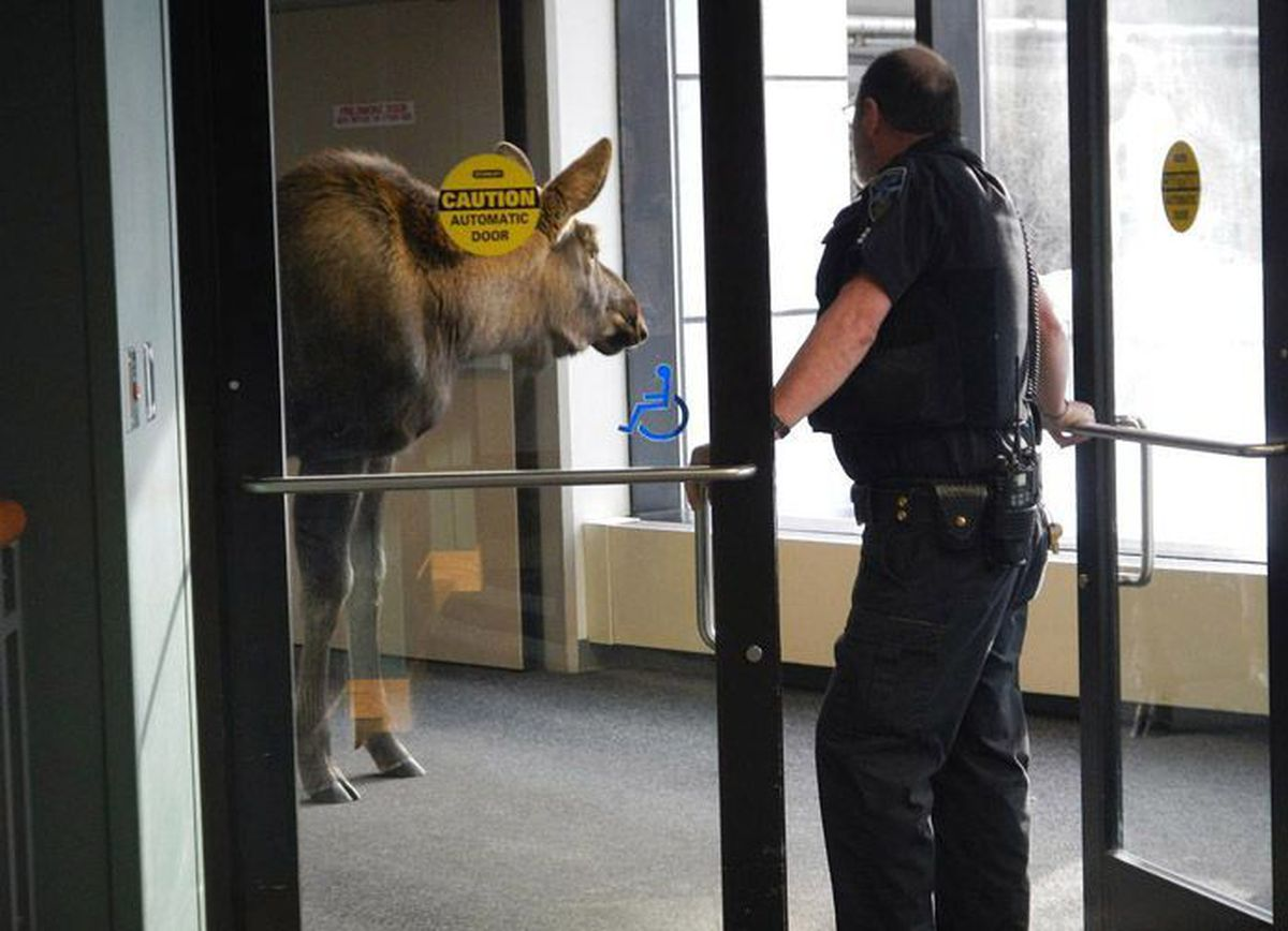 A moose wandered around a Providence Alaska Medical Center parking garage Saturday and Sunday (Feb 18-19, 2012).