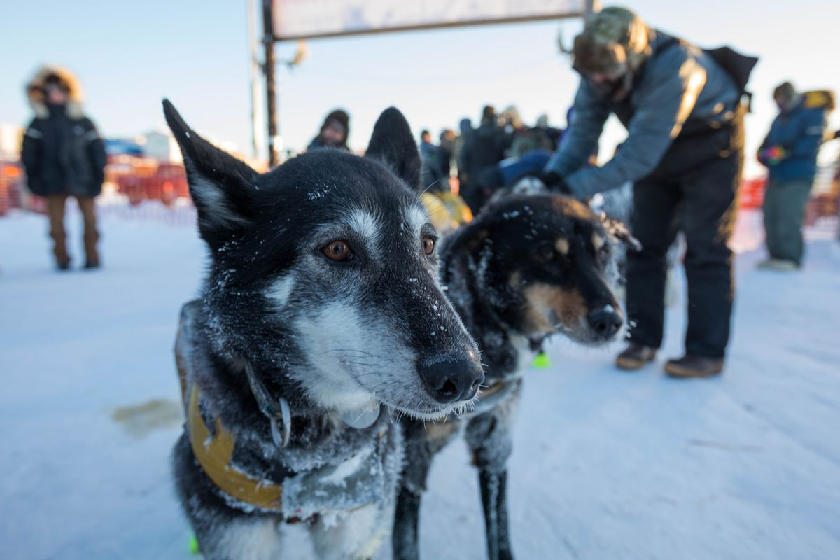 Brent Sass' lead dogs Celia, left, and Sound wait for their musher to finish a radio interview after the team finished second in the Kuskokwim 300 sled dog race Sunday, Jan. 22, 2017, in Bethel. (Loren Holmes / Alaska Dispatch News)