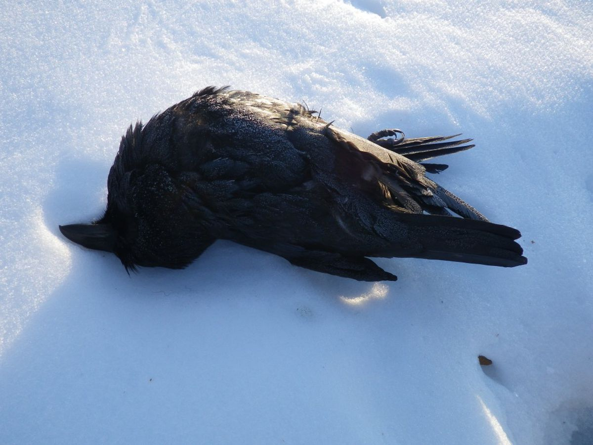 A raven believed to be shot dead on March 29, 2015, lies on snow in Fairbanks. (Courtesy USFWS)