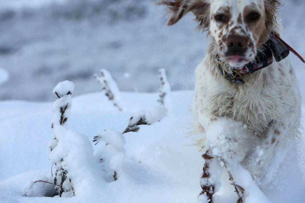 Hugo, an English setter, dashes through the snow. (Photo by Steve Meyer)