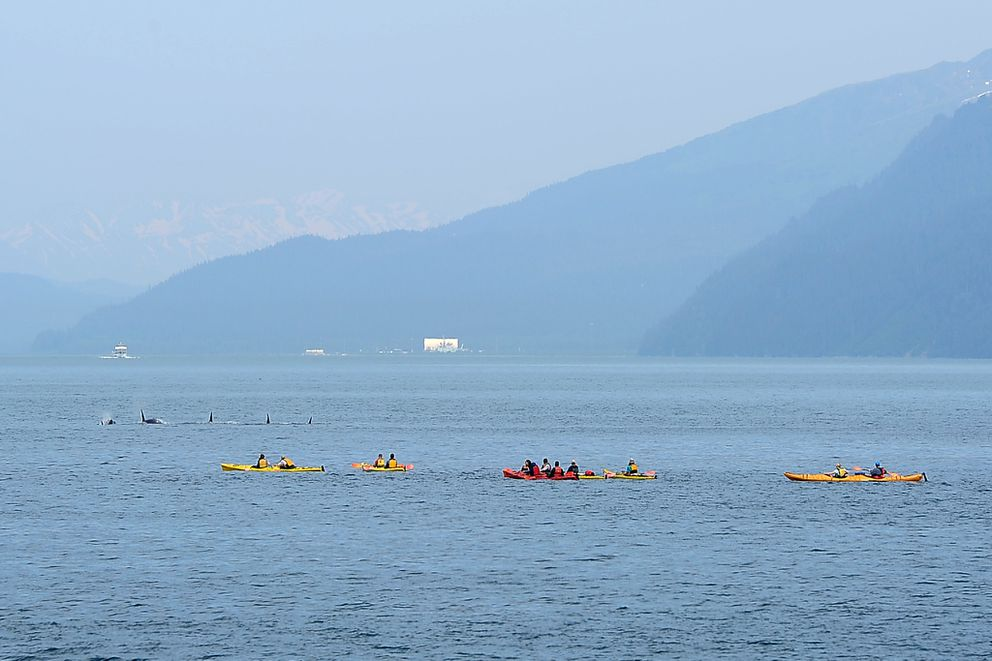Kenai Fjords Wilderness Lodge guests view passing orcas while paddling with Sunny Cove Sea Kayaking at Fox Island on Tuesday afternoon, June 16, 2015, in Resurrection Bay. (Erik Hill / ADN archive)