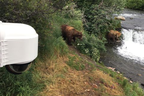 An Explore.org camera attached to a viewing platform eyes brown bears eating salmon at Brooks Falls on Saturday, July 15, 2017, in Katmai National Park and Preserve. (Tegan Hanlon / Alaska Dispatch News)