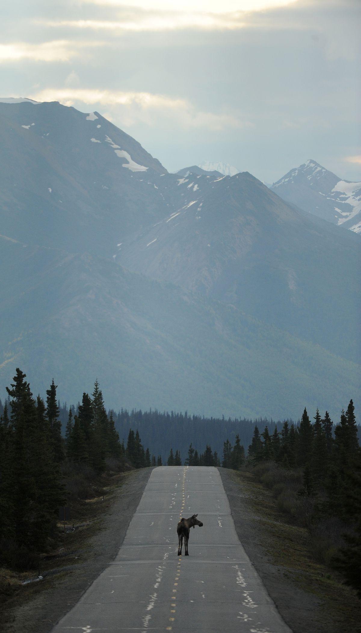 A moose walks down the park road in Denali National Park and Preserve on Thursday, May 19, 2016. (Bob Hallinen / Alaska Dispatch News)