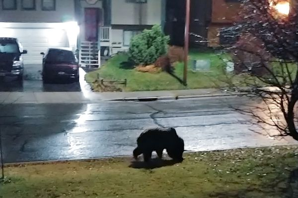 A brown bear wanders in Eagle River in early November. (Video courtesy Mary Lock)