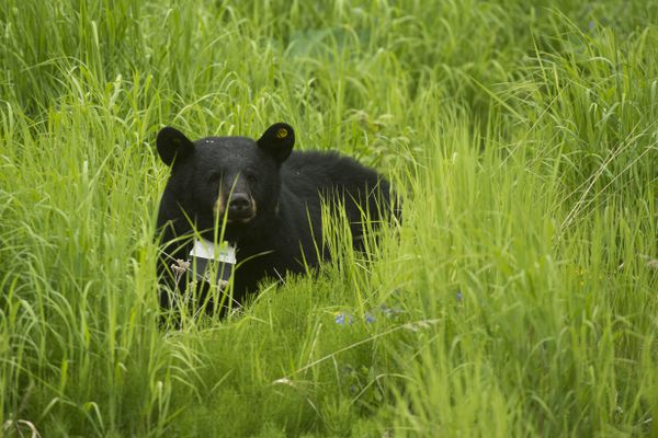 A black bear passes through the Creek Course at Moose Run Golf Course on June 12, 2017. Bear sightings are a frequent occurrence for golfers at the course. Alaska Department of Fish and Game wildlife biologist Sean Farley said this bear was collared as part of a project underway to research the diet of Anchorage black bears, how it changes with the seasons and how it is impacted by human foods.(Marc Lester / Alaska Dispatch News)