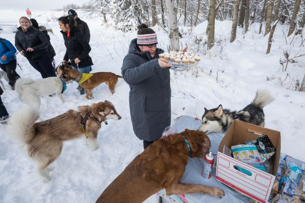 Terranova Tasker keeps peanut butter and dog treat cupcakes out of reach of some of the canine guests at a birthday party for Cricket, a 1-year-old shiba inu, Saturday at Kincaid Park. (Loren Holmes / ADN)