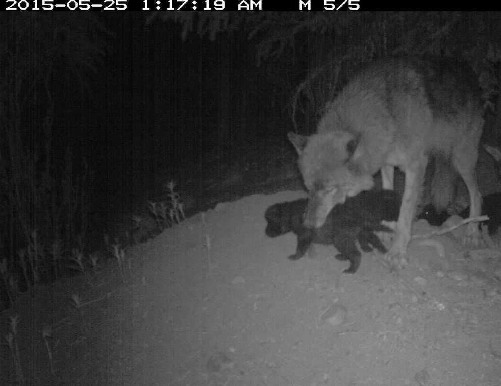 Riley the wolf and several of her many pups in spring 2015. (National Park Service trailcam photo)