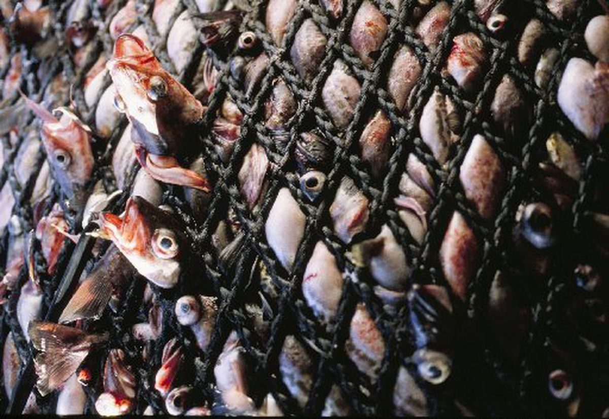 The cod end full of pollock bulges with the pressure of tons of fish on the factory trawler Northern Jaeger in January 1998. (BOB HALLINEN/ADN)