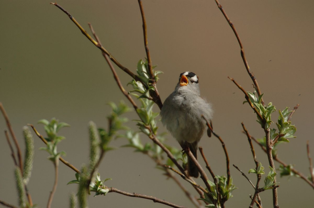 A white-crowned sparrow sings in a bush along side the park road in Denali National Park in June 2006. For the past two years the sparrow has been recorded in the Dillingham area during the annual Christmas bird count. (Bob Hallinen /Anchorage Daily News archive)