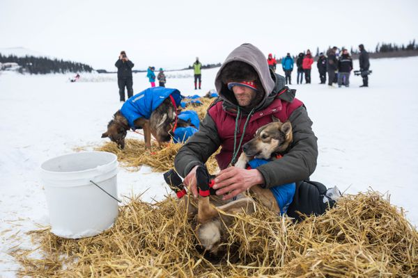 Nicolas Petit takes booties off of his dogs after arriving in White Mountain on Tuesday, March 13, 2018. (Loren Holmes / ADN)