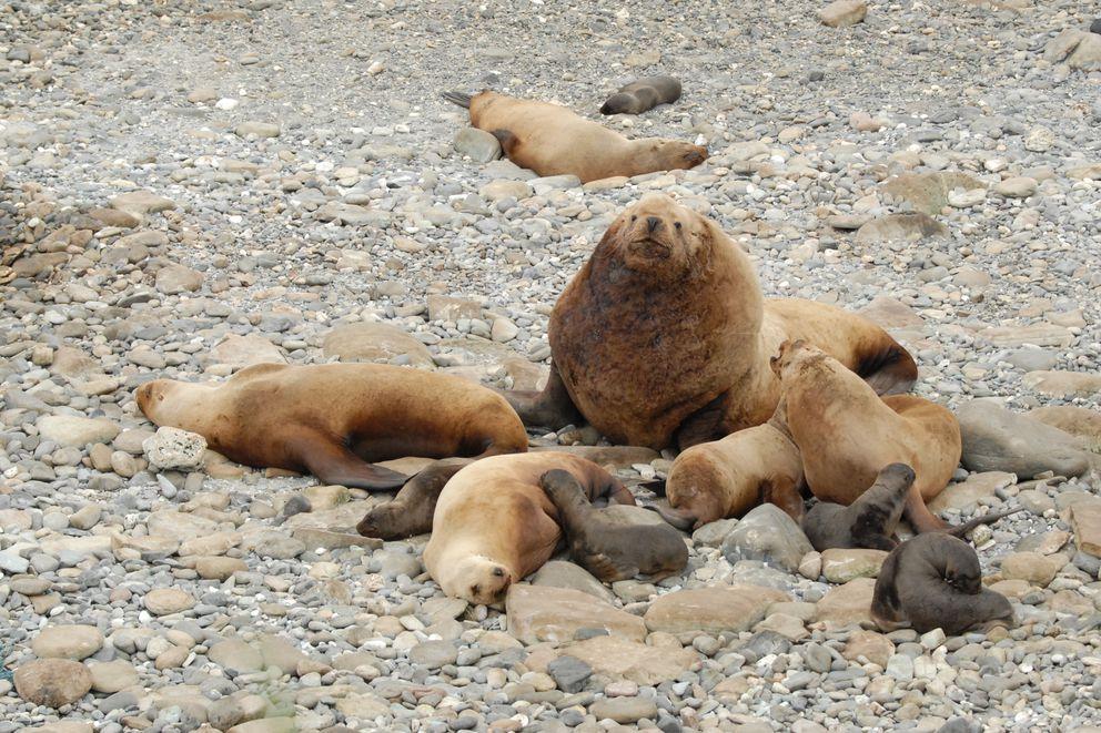 Steller sea lions in the western Aleutians. (NOAA Fisheries)