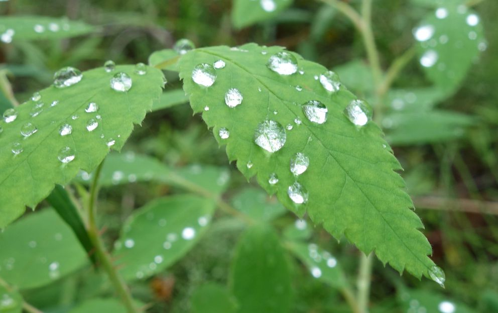 Water droplets on leaves following a rainy period in Interior Alaska. (Photo by Ned Rozell)